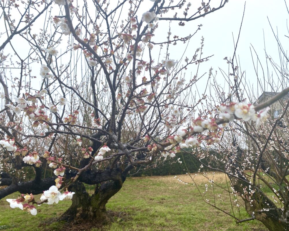 寿梅園 梅の花